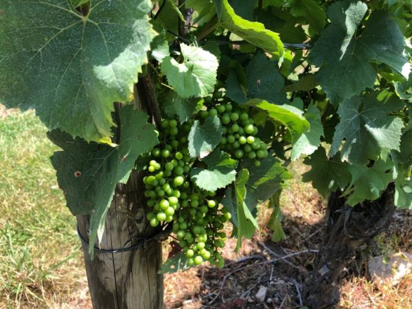 Explore Napa-style vineyards on the Connecticut shoreline