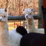 Chakana Sky Alpacas