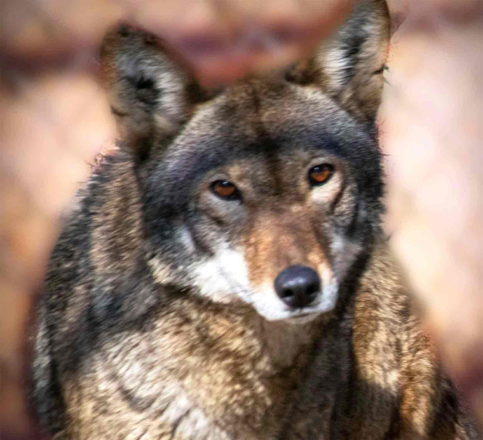 Connecticut's Beardsley Zoo Announces Arrival of  New Red Wolf Named for the Flower Moon