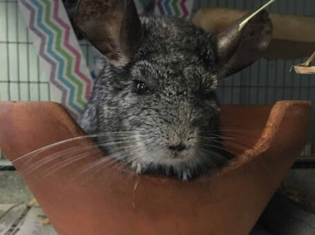 Wiggles the Chinchilla at the Beardsley Zoom in Connecticut