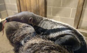 Baby Anteater born at Connecticut's Beardsley Zoo