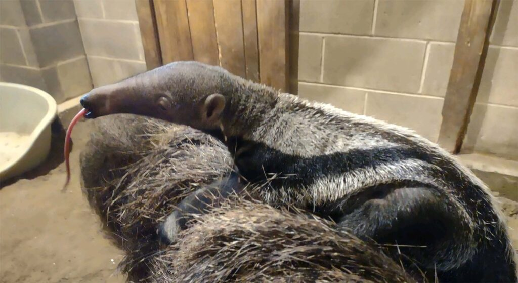 Giant anteater has been born at Connecticut's Beardsley Zoo