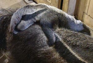 Picture of Baby Anteater born at Connecticut's Beardsley Zoo